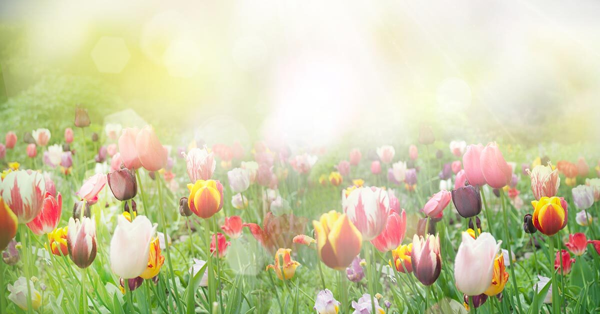 multicolored tulips in field with bright sunshine