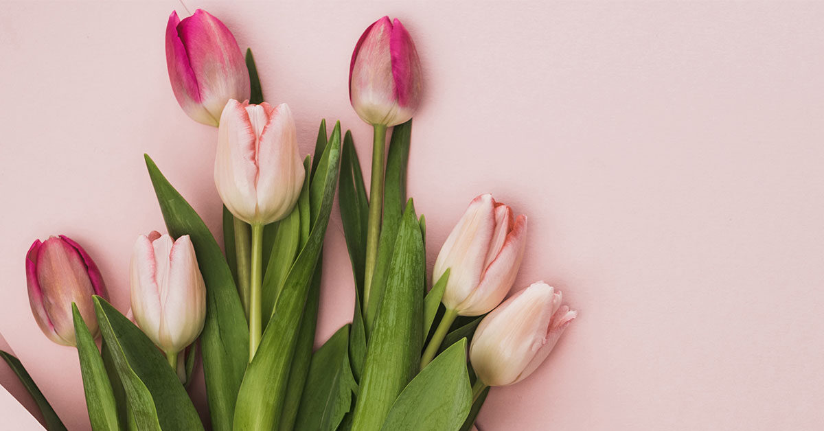 closed pink tulip bouquet on pink background